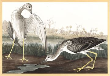 Picture of Audubon - Tell Tail Snipe