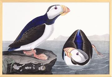 Picture of Audubon - Large Billed Puffin