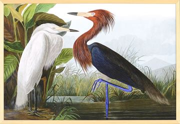 Picture of Audubon - Purple Heron
