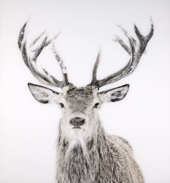 Picture of Acrylic - Stag