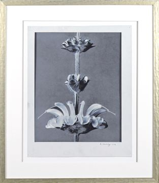 Picture of Blossfeldt Plant Study VII - Large