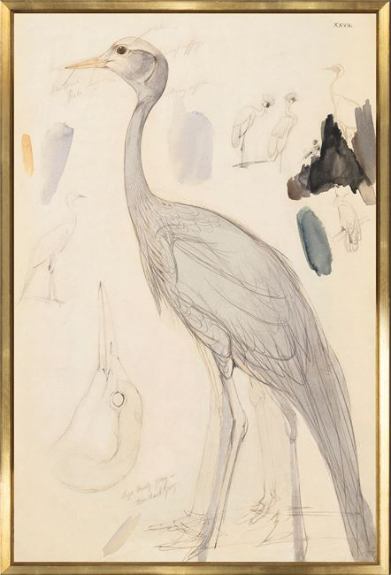 Picture of Lear - Demoiselle Crane
