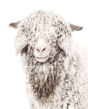 Picture of Acrylic - Angora Goat