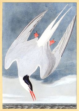 Picture of Audubon - Roseate Tern