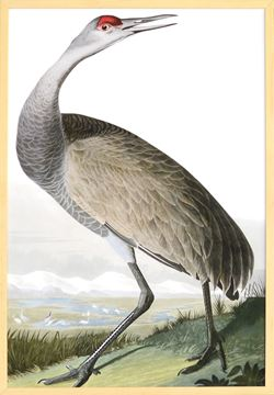 Picture of Audubon - Hooping Crane