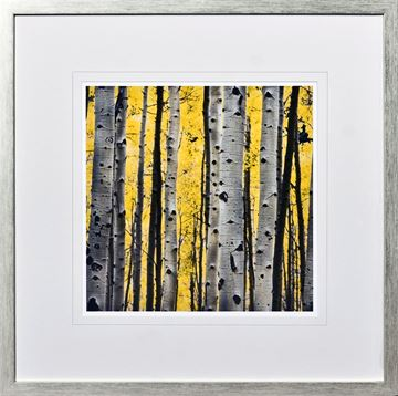 Picture of Birch Tree Study II