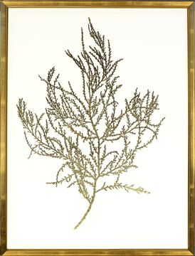 Picture of Gold Foil Algae III
