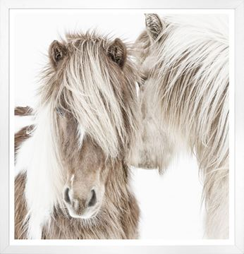 Picture of Icelandic Ponies