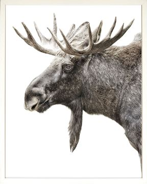 Picture of Algonquin Moose